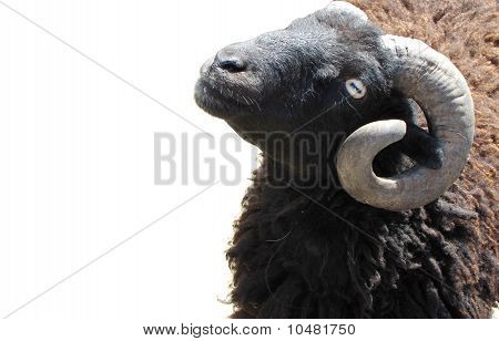 Brown Lamb On The White, (ovis)