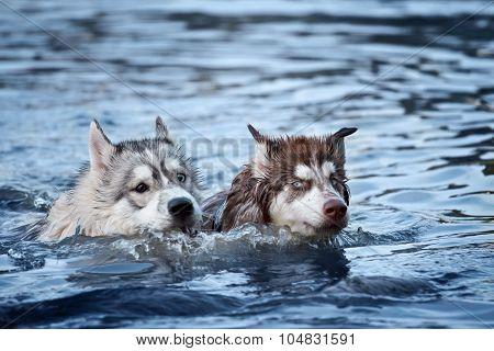 two husky dog swiming