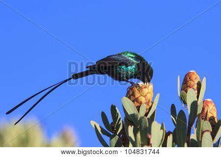Scarlet-tufted Malachite Sunbird on Protea flower