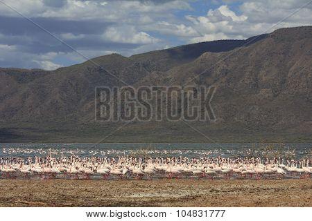 Flock Greater and Lesser Flamingoes Lake Bogoria East Africa Rift Valley Kenya