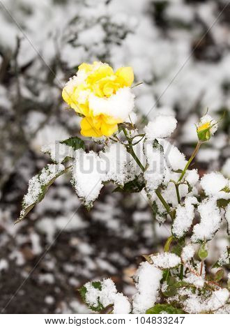 Delicate Yellow Rose In A Flower Bed Covered With Fresh Snow
