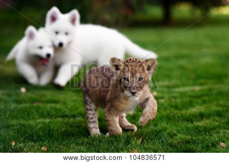 White Swiss Shepherds puppy lying with lion