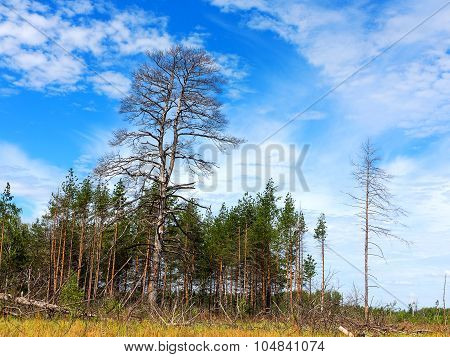 Landscape Forest, Fallen Trunks Of Trees Without Crowns, After The Heatwave In The Beautiful Blue Sk