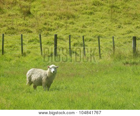 Sheep standing in fenced green pasture