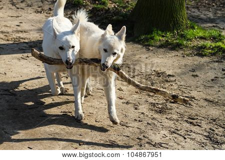 Two dogs running with one stick
