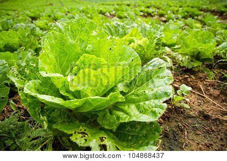 Organic lettuce farm