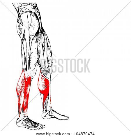 Vector concept or conceptual 3D adductor longus human lower leg anatomy or anatomical and muscle isolated on white background