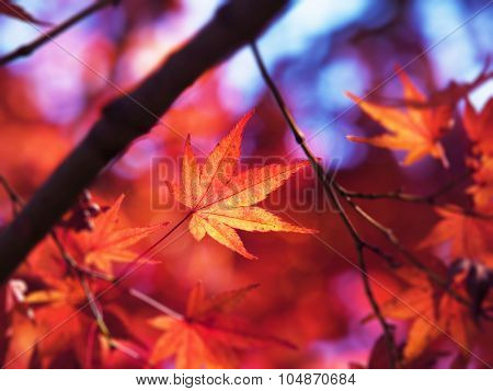 Japanese maple leaf in first cold days of autumn,  Illuminated by sunlight. Bright red and orange Japanese maple leaf in autumn.