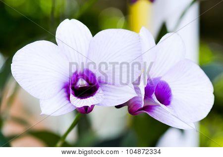 Orchid Flower,wanda