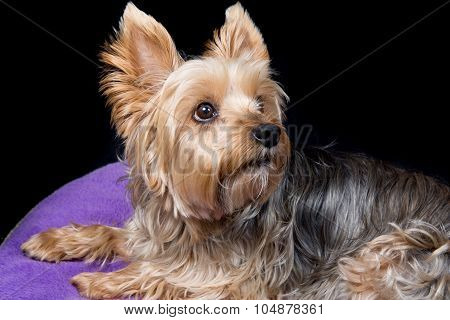 A Cute And Lovely  Young Yorkshire Terrier Dog