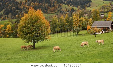 Grazing Simmental Cattle And Colorful Autumn Landscape