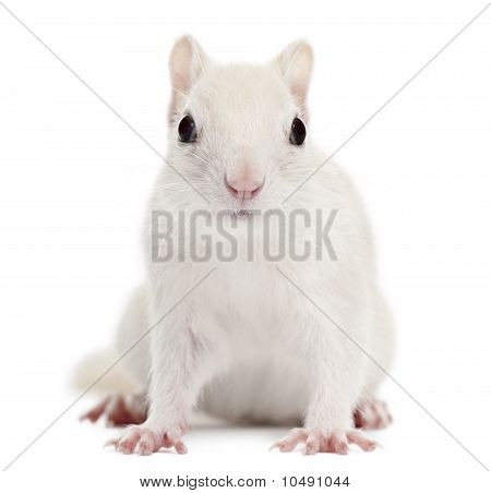 Eastern Chipmunk, Tamias Striatus, 2 Years Old, In Front Of White Background