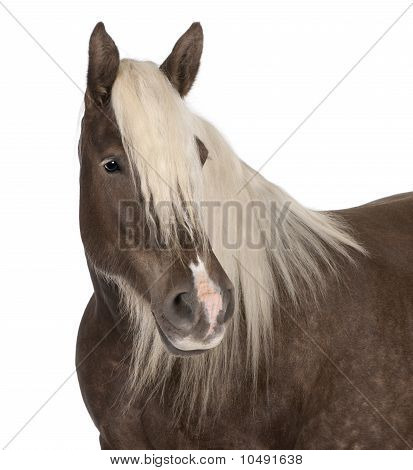 Proyecto de caballo Comtois, A caballo, Equus Caballus, 10 años edad, frente a fondo blanco