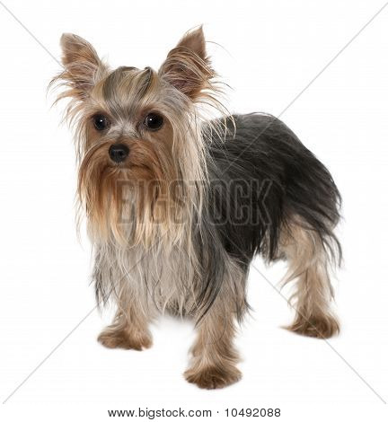 Yorkshire Terrier, 1 Year Old, Standing In Front Of White Background