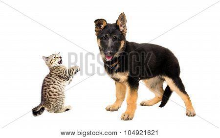 German Shepherd puppy and a funny kitten Scottish Straight