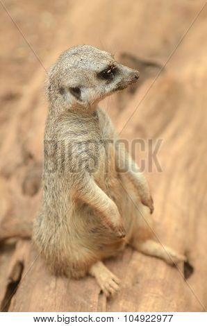 Sitting suricate in Loro Park in Puerto de la Cruz on Tenerife, Canary Islands, Spain