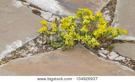 Beautiful Flowers Yellow Stonecrop