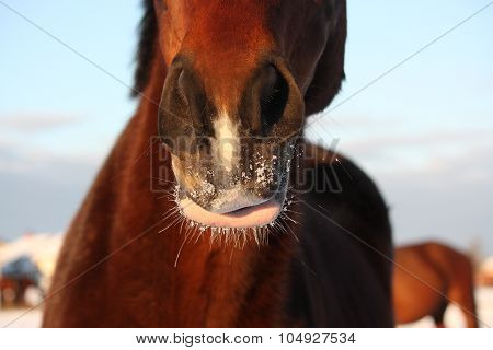Close Up Of Brown Horse Nose