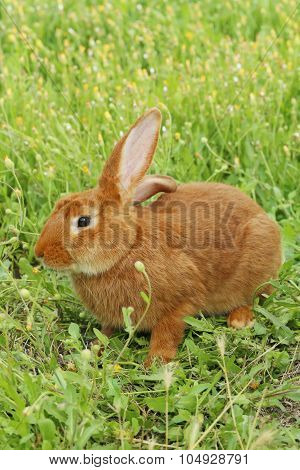 Beautiful Red Rabbit On Grass