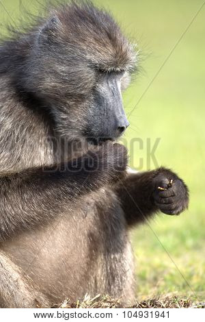 Cape Baboon Feeding