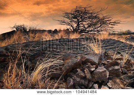 lonely tree and a dry grass in the field of lava at sunset. Big Island. Hawaii