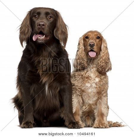 Labrador Retriever And English Cocker Spaniel, 6 And 9 Years Old, Sitting In Front Of White Backgrou