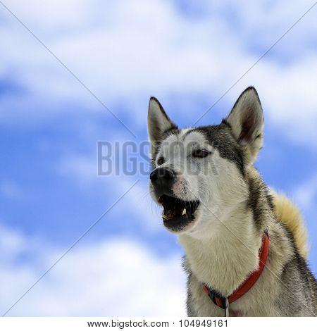 Siberian husky dog barking