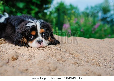 cavalier king charles spaniel relaxing outdoor in summer
