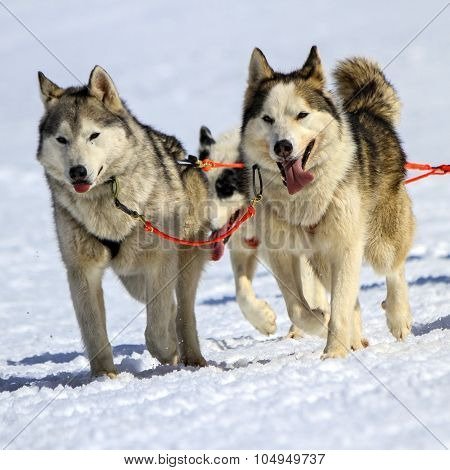 Husky sled dog team at work