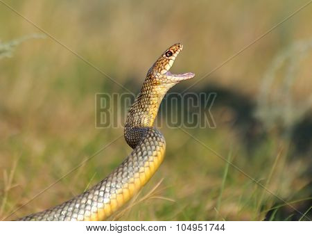 Large Whipsnake In Attack