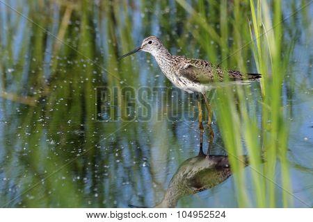 Marsh Sandpiper In The Marsh