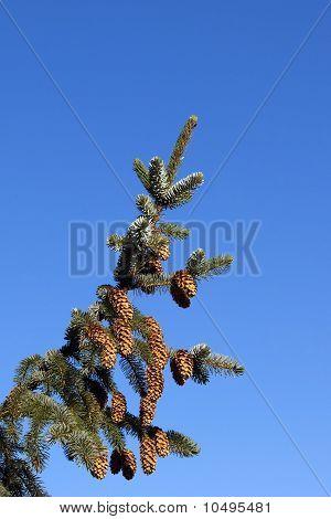 Sitka Spruce With Blue Sky