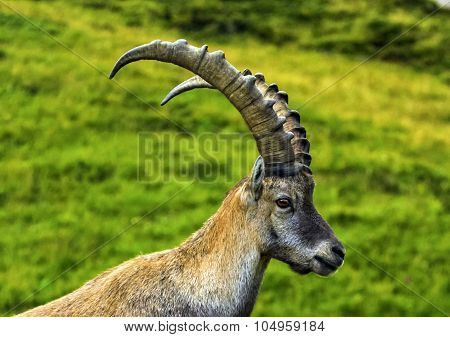Male wild alpine, capra ibex, or steinbock