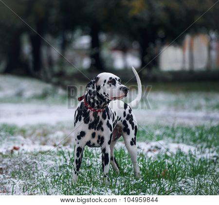 Portrait Of Black And White Dalmatian