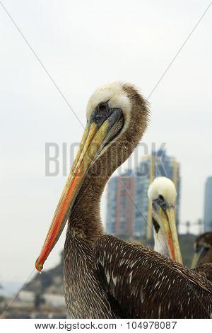 Pelican 0701