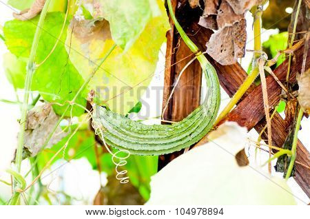 Luffa Cylindrica