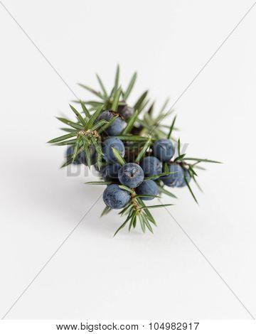Juniper branch with berries