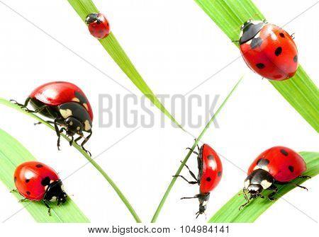 Set of ladybug on grass isolated on white background