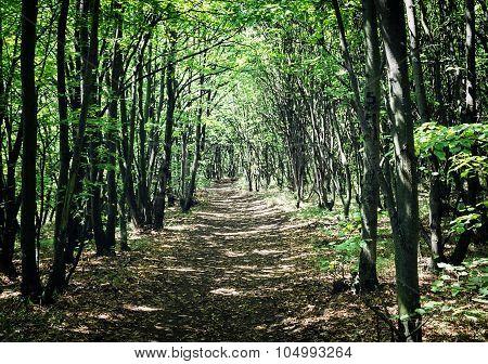 European Deciduous Forest In Summer