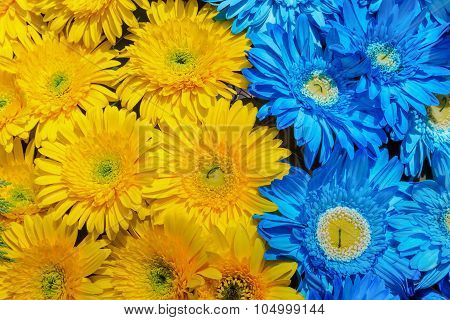 Blue and yellow gerbera flowers decoration