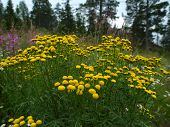 foto of tansy  - Tansy commonly occurring medicinal plant in Europe and Asia - JPG