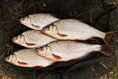 Постер, плакат: Several Of Roach Fish On On Fishing Net