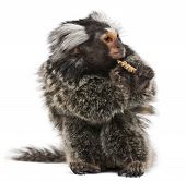 foto of marmosets  - Common Marmoset Callithrix jacchus 2 years old eating worm in front of white background - JPG