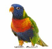 foto of lorikeets  - Rainbow Lorikeet Trichoglossus haematodus 3 years old standing in front of white background - JPG