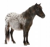 stock photo of appaloosa  - Appaloosa Miniature horse Equus caballus 2 years old standing in front of white background - JPG