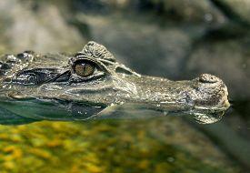 pic of crocodilian  - Close up of Crocodile Eye - JPG