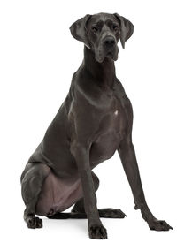 picture of great dane  - Great Dane 15 months old sitting in front of white background - JPG