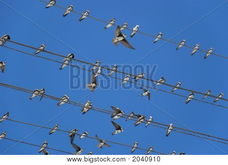 Birds (Martlet) Sitting On Electric Wires