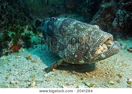 Potato Grouper Resting