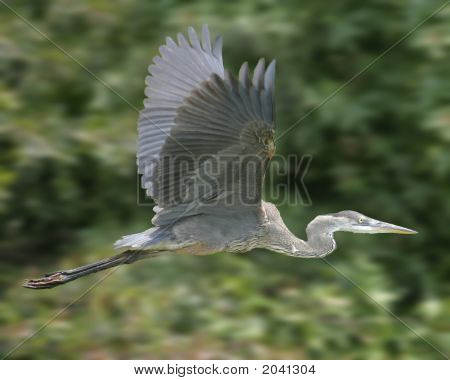 Great Blue Heron vuelo